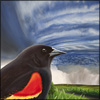 red wing blackbird hurricane