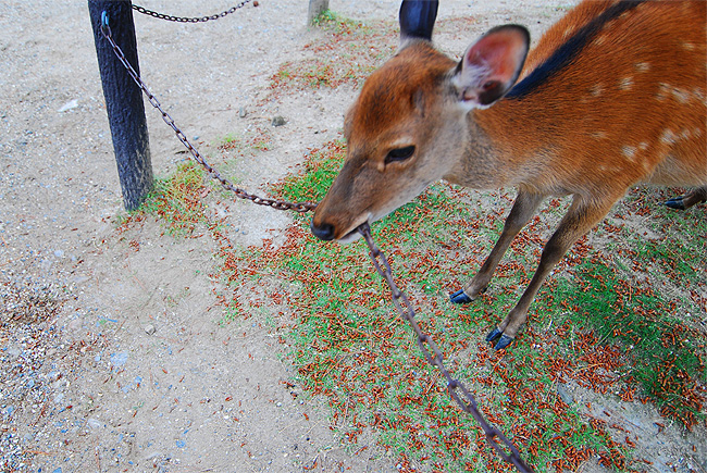 nara deer shika eating chain
