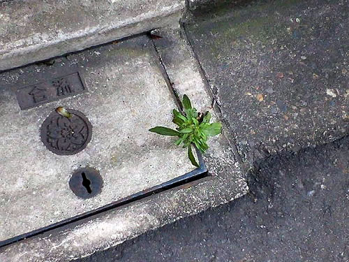 plant growing out of sewer