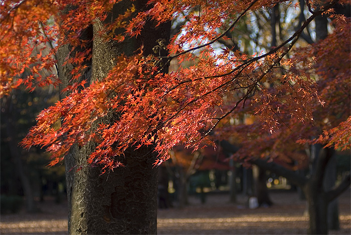 yoyogi park autumn red